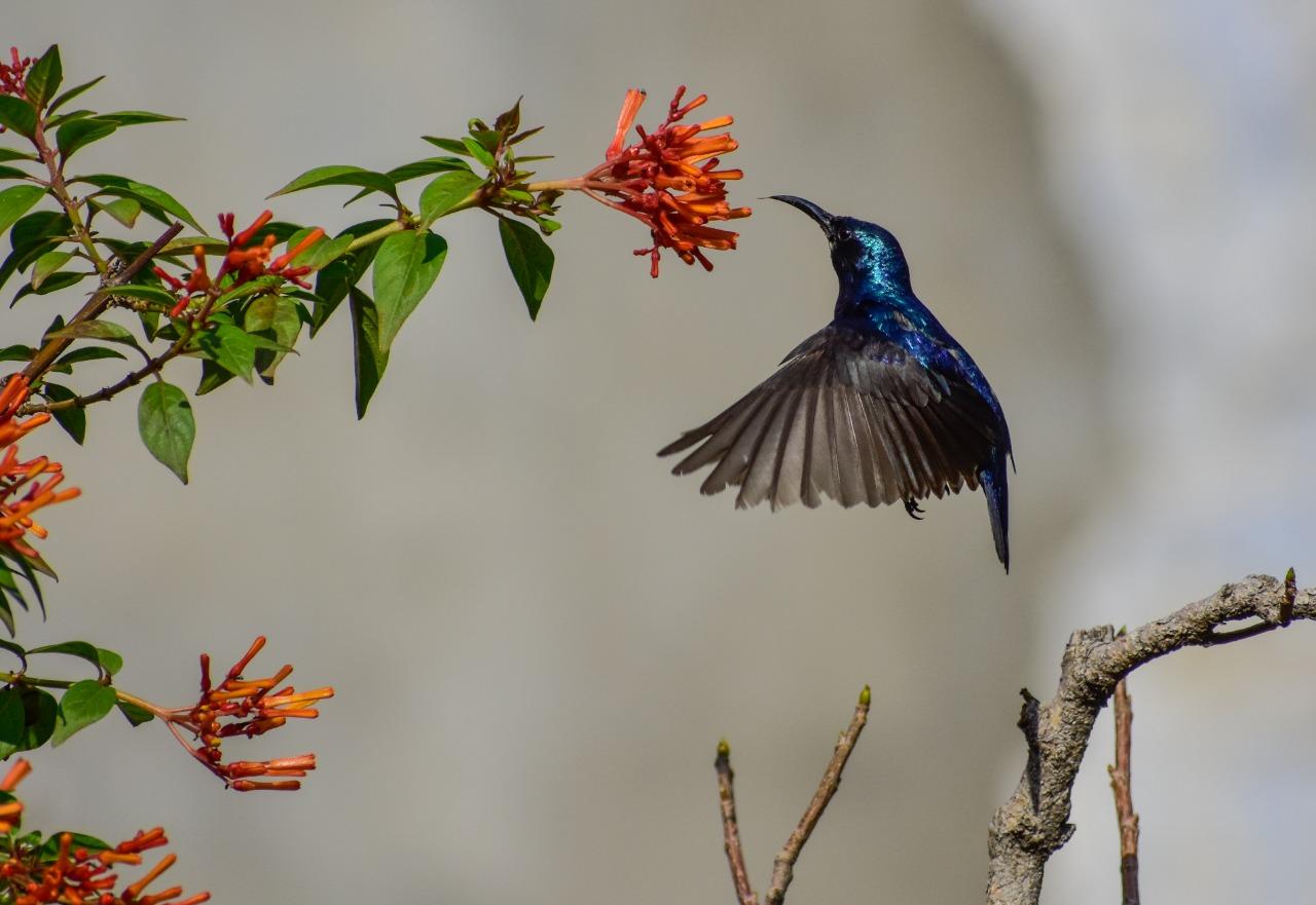 PurpleSunbird (pic by Tarsem Deogan)